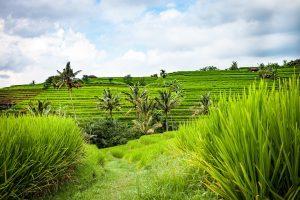 Reisanbaugebiet - Infektionsgefahr für Japanische Enzephalitis